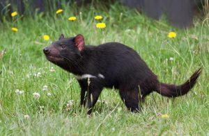 tasmaninski đavo