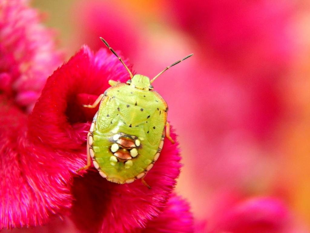 cvet, buba, roze