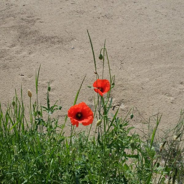 Bulke u pesku, foto Snežana Ilić